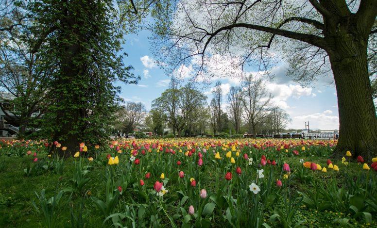 Tegeler Tulpen